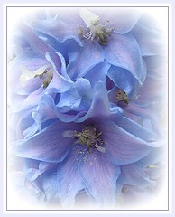 Sweet Dreams (Mary Faith.) Tags: blue summer flower macro art texture nature garden design stem soft framed pale bloom layers elegant delicate greetingcard fragile delphinium folds sweetdreams mygearandme ringexcellence blinkagain