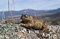 Epidalea calamita (David Herrero Glez.) Tags: frog toad sapo amphibians corredor bufo calamita anfibios anuros epidalea