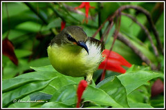2050 sunbird (chandrasekaran a 546k + views .Thanks to visits) Tags: india nature birds canon chennai sunbird theosophicalsociety  powershotsx40hs chandrasekarana