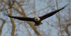 "Bald Eagle (20120314-0982) (Earl Reinink) Tags: travel ontario canada bird art nature birds photography landscapes nikon flickr eagle flight canadian niagara earl bif ""lake ""bird ""nikon ""niagara photography"" eagle"" ""birds ""nature ontario"" ""landscape ""fine ""earl peninsula"" flight"" lenses"" ""travel erie"" ""bald d3"" ""hawk d3s"" reinink"""