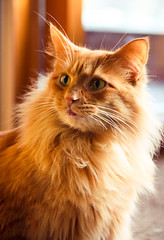 """""""It's So Fluffy I Could Die!!!!"""" (wingardium leviosa.) Tags: light cute tongue cat mouth fur nose eyes feline side rusty kitty ears whiskers 365"""