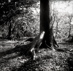 Life (ari@098) Tags: light blackandwhite plant tree tlr monochrome japan forest mediumformat okinawa 120mm 66 selfdevelopment ricohflex dk50 400tmy2 newdia