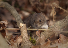 Bank Vole (John (Gio) * OVER 100,000 VIEWS *) Tags: nature woodland mammal kent wildlife olympus smallmammal fourthirds bankvole nbw muridae clethrionomysglareolus zuikodigitaled50200mmf2835swd