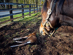 Baby thoroughbreds = beginning of spring (DWHonan) Tags: horse baby fence spring mare farm pony annie thoroughbred ditto foal