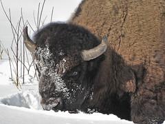 Nose deep in Snow (Clay Dye) Tags: winter snow male ab bull alberta bison foraging elkislandnationalpark bisonbisonbison nikond90 plainsbison plainsbuffalo