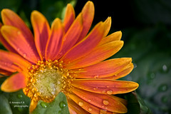 Flower Shin..* ||   (    , ) Tags: flowers red orange flower cute green nature yellow canon amazing d 600 effect edit doha qatar  t3i d600 qtr   600d   ameera  q6r    amoora        qa6ar    canon600d  600 600