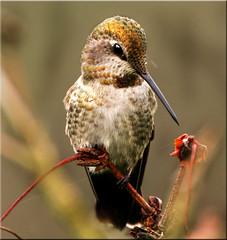 Anna's Hummingbird (Catsbow) Tags: birdperfect