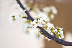 Blossom 4 (redaleka) Tags: new flowers light summer white flower tree nature beauty petals spring stem focus pretty branch dof blossom bokeh branches air fresh petal blossoming pure purity springy