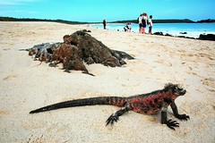 Whose beach is it, anyway? (blinkingidiot) Tags: beach tourists galapagos iguana espanola marineiguana galapagosislands mygearandme mygearandmepremium mygearandmebronze