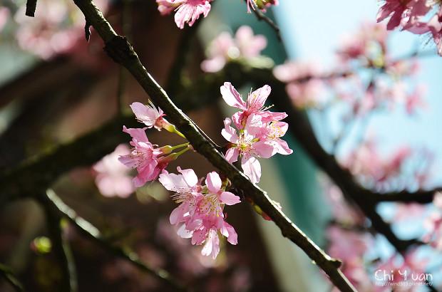 2012陽明山花季26.jpg