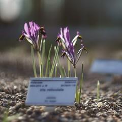 Iris reticulata (martina★linnea) Tags: iris göteborg gothenburg botanicalgardens botan irisreticulata 2011 göteborgsbotaniskaträdgård springiris lökträdgården