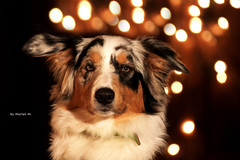 Bokeh. (Sprotte99) Tags: portrait bokeh aussie australianshepherd bluemerle highqualitydogs