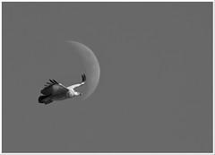 Buitre y luna (miguelangelortega) Tags: sky moon ave naturalea ltytr2 ltytr1 ltytr3 blinkagain