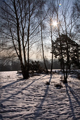 Starburst through trees (Carol Drew) Tags: uk winter snow landscape surrey sunburst wintertrees snowylandscape snowyscene sunlightthroughtrees chinthurst