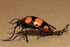 Ironic scene (Scaphidomorphus bosci) (CamiSilver) Tags: macro peru beetle fungus hongo coleoptera erotylidae cucarron