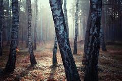 betula (ewitsoe) Tags: morning trees light sunlight forest 35mm woods nikon europe poland polska birch wlodawa d80 visitpoland