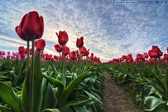 Stretching For The Sun (Silverder) Tags: pink red clouds washington spring tulips skagitvalley skagitvalleytulipfestival mtvernon laconnerwa tuliptown