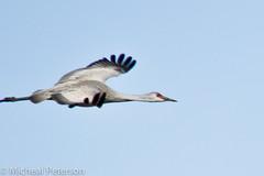 Sandhill Cranes - Kearney, NE - 2012 (Micheal  Peterson) Tags: bird birds nebraska watching center ne cranes neb migratory info migration visitor information minden kearney sandhillcranes gibbon kearny migrate kerny