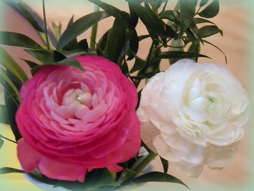 Schneeweisschen und Rosenrot (Ranunkeln)