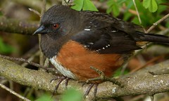 Towhee In The Tangle (ebirdman) Tags: female spotted towhee spottedtowhee pipilomaculatus pipilo maculatus