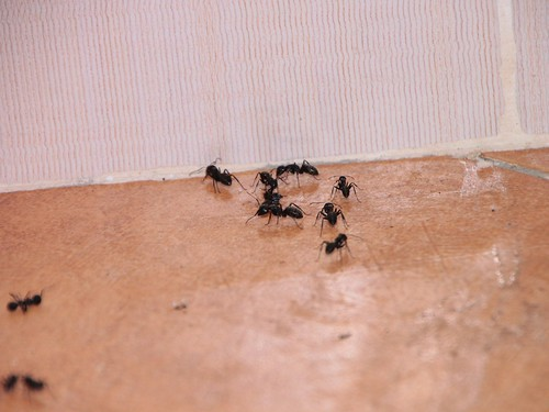House-Invading-Ants__43261