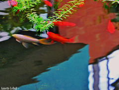 Watery World (Annette LeDuff) Tags: pink blue light shadow red plants fish reflection building green nature water grid pond goldfish michigan conservatory line greenhouse botanicalgarden dappled aaa favorited lumen naturegroup matthaeibotanicalgardens reflectionsinwater abstractreality extracolor annarbormi waterabstracts naturesanctuary afotando aquaticworld exquisitedetails natureiswonderful mbgna gününeniyisithebestofday naturescreations crabaward zensationalworld reflexoreflection exoticimage themarinebubbleaward thebeautifulpetgroup octopusaward letscleanexplore photoannetteleduff annetteleduff hulyaprettygallerie chariotsofnaturelevel1 ourwonderfulandfragileworld 03072012 awonderfulgardencalledearth me2youphotographylevel1 fantasticphotosphotosfantastiques dailyphotosphotosquotidiennes underwaterworldexplorer