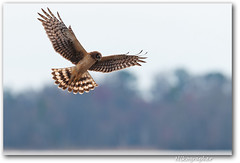 Northern Harrier - Pausing for a look