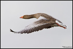 Grauwe Gans - Greylag Goose -3- (wimzilver) Tags: bird vogels 7d alblasserwaard bif greylaggoose grauweganzen wimzilver canon300mmf4lis14ex