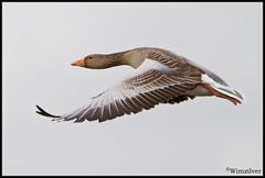 Grauwe Gans - Greylag Goose -3- (Wim Boon (wimzilver)) Tags: bird vogels 7d alblasserwaard bif greylaggoose grauweganzen wimzilver canon300mmf4lis14ex