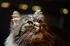 Bright eyes! (Andrea D.V.) Tags: old macro face cat dark eyes nikon bright bokeh 100mm tokina gatto occhio snout muzzle tomcat vecchio muso scuro vispo gattaccio d700 tokina100mmf28atxprod
