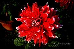 Flower show@NOIDA (PD03) Tags: flower color colour green fauna garden happy petals nikon vibrant environment positive cheerful d5100