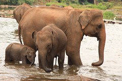 Pinnawala Elephant Orphanage Sri Lanka (eriagn) Tags: baby elephant canon river eos chains mother ivory bull orphan srilanka trunks bathing calf washing sanctuary touching tusks tusker pinnawalaelephantorphanage elephanthandlers mahaoyariver eriagn ngairelawson