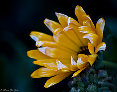 Love of Light (aleemsm) Tags: orange flower post bhutan shy delicate