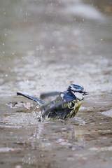 Blue Tit washing #1 (Vessikuvaa) Tags: bird 7d washing bluetit 100400mm