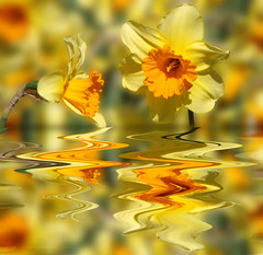 Narcissistic narcissus (VillaRhapsody) Tags: flower reflection yellow photoshop manipulated funny daffodils bigmomma challengeyouwinner challengeclub