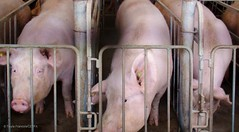 Sows who have been confined to stalls for over a year (Twyla Francois) Tags: against metal barn concrete tim bacon injury sausage stall pork hunger horton chewing swine piglet pressure crate wound operation hog sow sham abuse thump pac suffer confinement laceration beheaded aural gestation decapitate injure pounded haematoma stereotypy