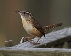 Carolina Wren (AllHarts) Tags: backyardbird carolinawren memphistn awesomebirds stunninganimalsandbirds birdsbirdsbirdsbirdsyougetthepoint