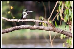 Amazon Kingfisher (GlobalGoebel) Tags: travel brazil bird rio forest canon river lago photography eos amazon rainforest king negro jungle kingfisher fisher brazilian 5d 100400mm amazonas markii amazonia rionegro mark2 janauari lagojanauari