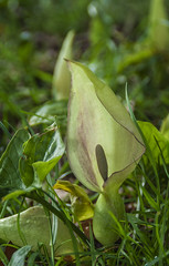 Cuckoo Pint (Photator) Tags: flowers plants nature lily arum richmondpark cuckoopint lordsandladies arummaculatum