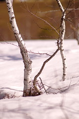 Birken im Schnee (Binderhusl) Tags: schnee hotel frhling inzell schneeschmelze binderhusl