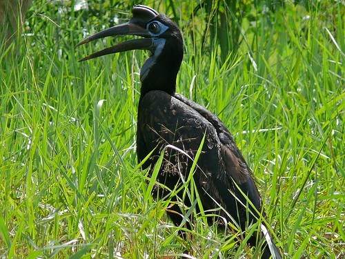 Abyssinian Ground Hornbill (Bucorvus abyssinicus) female