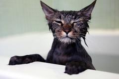 (elenakulikova) Tags: pet cats kitten kitties bathtime kittybath nimby