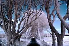 The Dark Hedges - Infrared Style (Glenda Hall) Tags: road uk trees ireland white nature movie march spring fuji fences gimp tunnel infrared northernireland hbo beech a330 touristspot glenda ulster blueandwhite ballymoney hedges antrim filmlocation treetrunks 2014 beechtrees tvseries treetunnel naturalphenomenon movielocations coantrim fujifinepixa330 armoy infraredcamera gameofthrones colourswap infraredconversion thedarkhedges bregaghroad northernirelandtourism liningtheroad glen