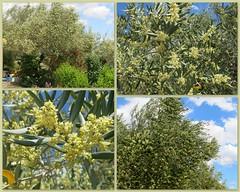 blühende Olivenbäume (Marlis1) Tags: flowers trees collage olivetrees baixebre finca oleaeuropaea olea olivenbäume explored marlis1 oelbaum oelbaumgewächse tortosacataluñaespaña canong15 inexploreapril302014