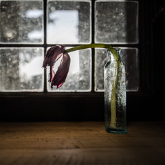 (Alan Drake) Tags: light flower colour window glass digital nikon purple naturallight tulip manual d7000