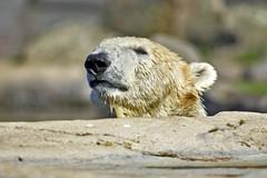 Eisbr (Michael Dring) Tags: zoo polarbear bismarck gelsenkirchen eisbr zoomerlebniswelt michaeldring d7200 sp150600