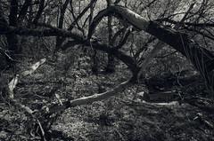Tree Trap 1 (JeffStewartPhotos) Tags: trees blackandwhite bw toronto ontario canada rotting blackwhite stclair fallen photowalk toned westonroad torontophotowalk topw torontophotowalks topwsc