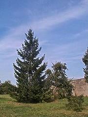 Picea abies 1 (heinvanwinkel) Tags: 2002 frankrijk spar augustus pinaceae piceaabies spermatophyta pinales tracheophyta euphyllophyta pinidae bloemvandedag acrogymnospermae mesbrecourt