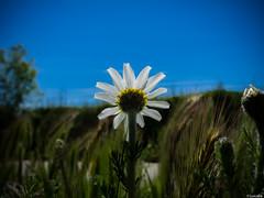 Esplendor en la hierba (Luicabe) Tags: naturaleza planta sol exterior flor paisaje margarita luis zamora cabello hierba cieloazul yarat1 enazamorado luicabe