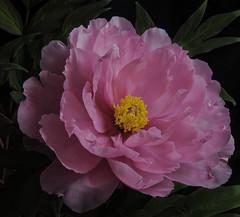 Pink Chinese Tree Peony (Bill Gracey) Tags: pink flower nature fleur composition flor northcarolina naturalbeauty dukegardens offcameraflash chinesetreepeony lastoliteezbox yongnuorf603n yn560iii